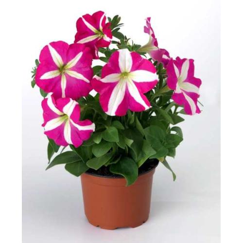 Петуния grandiflora Musica F1 Rose Star Volmary