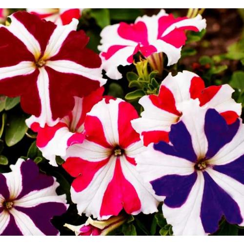 Петуния grandiflora Musica F1 Red Volmary 500 шт