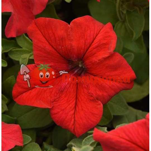 Петуния grandiflora Musica F1 Red Volmary