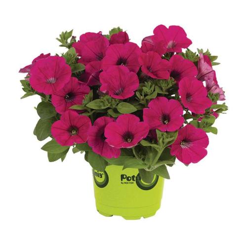 Петуния grandiflora Musica F1 Rose Volmary