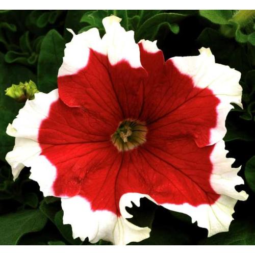 Петуния grandiflora Musica F1 Red Frost Volmary