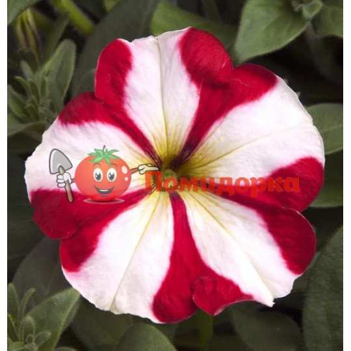 Петуния grandiflora Musica F1 Red Star Volmary