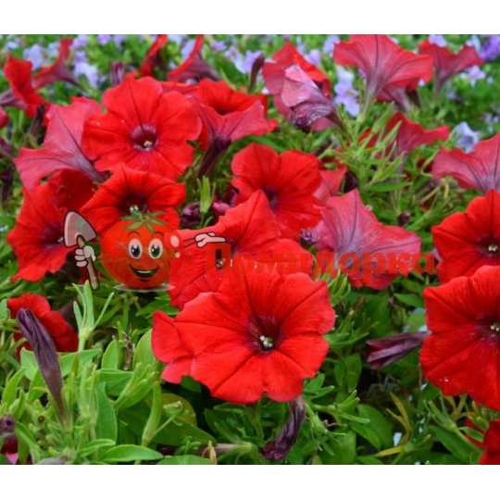 Петуния grandiflora Duvel Burgundi F1 Syngenta 1000 шт
