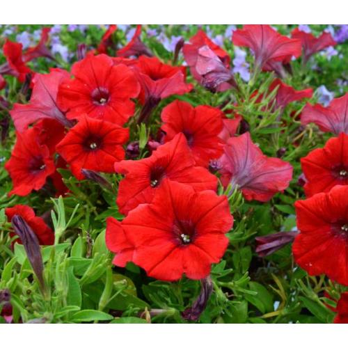 Петуния grandiflora F1 Tritunia Red Syngenta