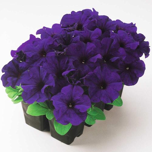 Петуния Grandiflora Ez Rider Blue F1 Pan American 1000 шт