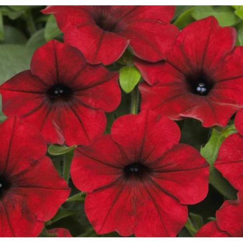 Петуния Grandiflora Ez Rider Red F1 Pan American 1000 шт