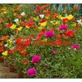 Портулак PAS grandiflora Happy Trails Mix