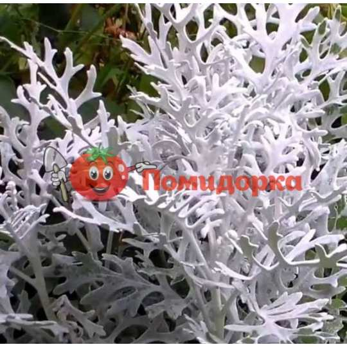 Цинерарія Сільверадо(Професійне насіння)
