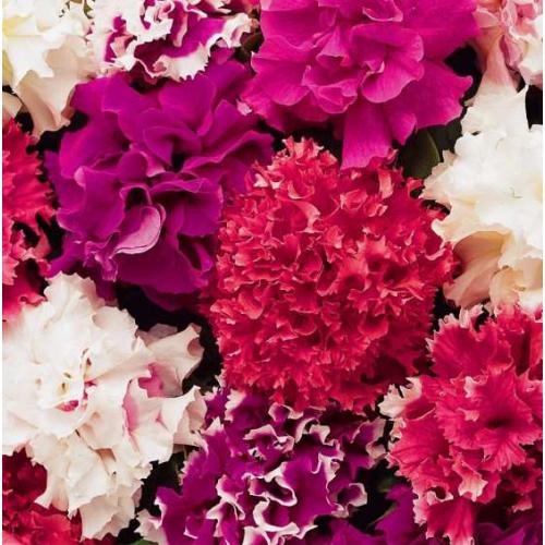 Петуния grandiflora ВИРТУОЗ Strawberry 1000 шт