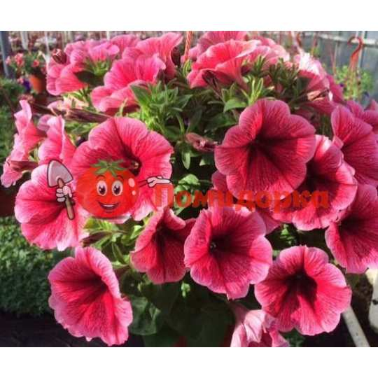 Петуния grandiflora F1 ВИРТУОЗ Strawberry Kitano