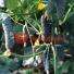 Огурец корнишон ТИТАНИК F1   TITANIC F1 Yuksel (Фасовка - 500 семян)
