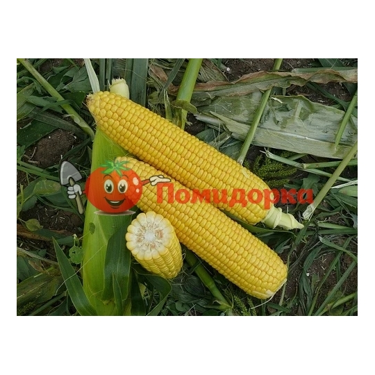Кукурудза ГСС 5649 F1 | GSS 5649 F1 Syngenta