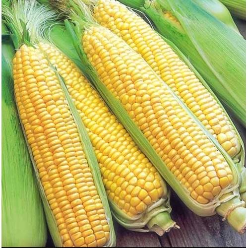 Кукуруза ГСС8529 F1 | GSS 8529 F1 Syngenta