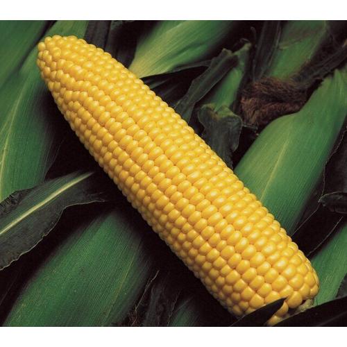 Кукуруза ГСС 5649 F1 | GSS 5649 F1 Syngenta