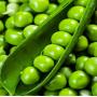 Горох ЛАМБАДО | LAMBADO Syngenta (Фасовка - 100 000 семян)