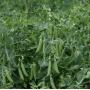 Горох АЛМАФИ | ALMAFI Syngenta (Фасовка - 100 000 семян)