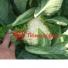Капуста цветная ЛОКРИС F1 | LOKRIS F1 Hazera (Фасовка - 1000 семян)
