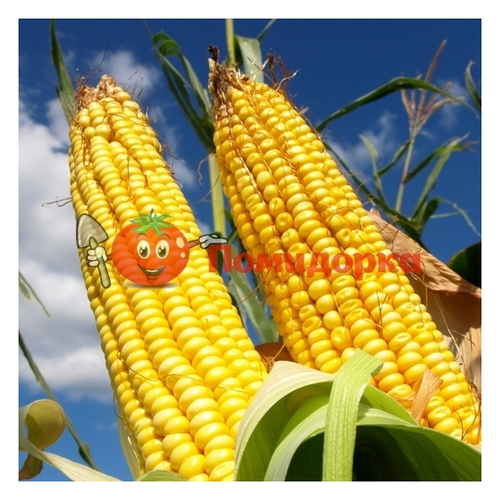 Кукуруза сахарная ПОРУМБЕНЬ-198 F1 Элитный ряд