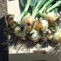 Лук озимый ИБИС F1 | IBIS F1 Hazera (Фасовка - 250 000 семян)