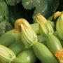 Кабачок НЕВИРА F1 | NEVIRA F1 Hazera (Фасовка - 1000 семян)