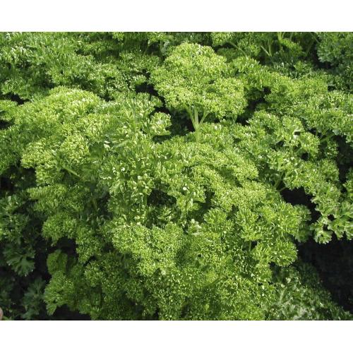 Петрушка кудрявая Професійне насіння 20 г