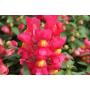 Львиний зев Снеппи F1   Antirrhinum majus Snappy F1 HEM GENETICS (Фасовка - Розовый - 100 семян)
