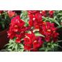 Львиний зев Снеппи F1   Antirrhinum majus Snappy F1 HEM GENETICS (Фасовка - Красный - 100 семян)