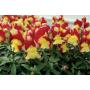 Львиний зев Снеппи F1   Antirrhinum majus Snappy F1 HEM GENETICS (Фасовка - Красно-желтый - 100 семян)