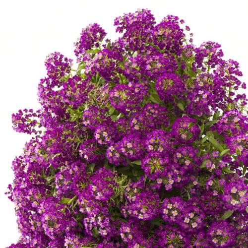 Лобулярия (Алиссум) Пурпурная Hем Zaden