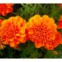 Бархатцы Малыш Hem Zaden (Фасовка - Оранжевый - 0,1 грамм)