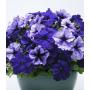 Петуния грандифлора Тритуния F1 | Petunia grandiflora Tritunia F1 Syngenta Flowers 20 шт (Фасовка - Браво Полярное сияние - 20 драже)