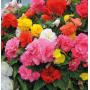 Бегония Тубероза Гоу-Гоу F1 | Begonia tuberosa Gо-Gо F1 Syngenta (Фасовка - Микс - 100 семян)