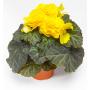 Бегония Тубероза Гоу-Гоу F1 | Begonia tuberosa Gо-Gо F1 Syngenta (Фасовка - Желтый - 100 семян)