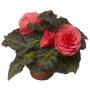 Бегония Тубероза Гоу-Гоу F1 | Begonia tuberosa Gо-Gо F1 Syngenta (Фасовка - Розовый - 100 семян)