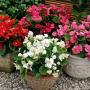 Бегония Бада Бинг F1 | Begonia semperflorens Bada Bing F1 syngenta flowers (Фасовка - Микс - 200 семян)