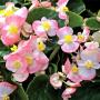 Бегония Бада Бинг F1 | Begonia semperflorens Bada Bing F1 syngenta flowers (Фасовка - Розовый биколор - 200 семян)