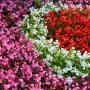 Бегония Бада Бум F1 | Begonia semperflorens Bada Boom F1 syngenta flowers (Фасовка - Микс - 200 семян)