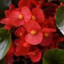 Бегония Бада Бум F1 | Begonia semperflorens Bada Boom F1 syngenta flowers (Фасовка - Скарлет - 200 семян)