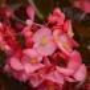 Бегония Бада Бум F1 | Begonia semperflorens Bada Boom F1 syngenta flowers (Фасовка - Розовый - 200 семян)
