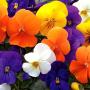 Виола рогатая Пенни F1 | Viola cornuta Penny F1 Syngenta Flowers (Фасовка - Микс - 100 семян)
