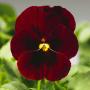 Виола рогатая Пенни F1 | Viola cornuta Penny F1 Syngenta Flowers (Фасовка - Red wing - 100 семян)