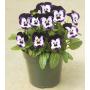 Виола рогатая Пенни F1 | Viola cornuta Penny F1 Syngenta Flowers (Фасовка - Микки - 100 семян)