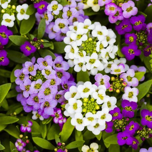 Лобулярия Королевский ковер | Lobularia maritima mixed