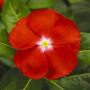 Катарантус СанШторм F1   Catharanthus SunStorm F1 Syngenta (Фасовка - Scarlet with Eye - 100 семян)
