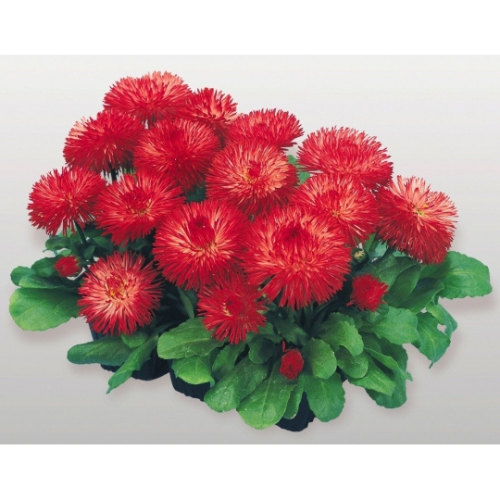 Маргаритка Хабанера | Bellis perennis Habanera Benary flowers