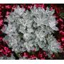 Цинерария приморская Сильверадо | Cineraria maritima Silverado Hem Zaden (Фасовка - Сильвер - 200 семян)