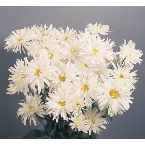 Ромашка махровая Крейзи Дейзи | Leucanthemum superbum Crazy Daisy Benary