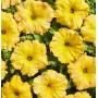 Петуния ампельная Лавина F1   Petynia pendula grandiflora LavinaF1 Cerny (Фасовка - Жёлтый каприз - 10 драже)
