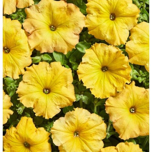 Петуния ампельная Лавина F1 | Petynia pendula grandiflora LavinaF1 Cerny