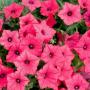 Петуния ампельная Лавина F1   Petynia pendula grandiflora LavinaF1 Cerny (Фасовка - Розовый - 10 драже)
